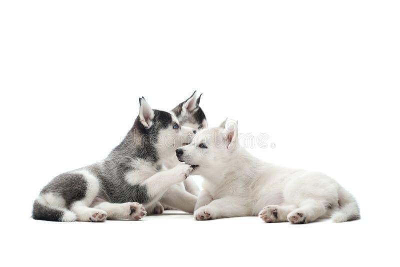 Los perritos bonitos del husky siberiano persiguen jugar en el estudio fotografía de archivo