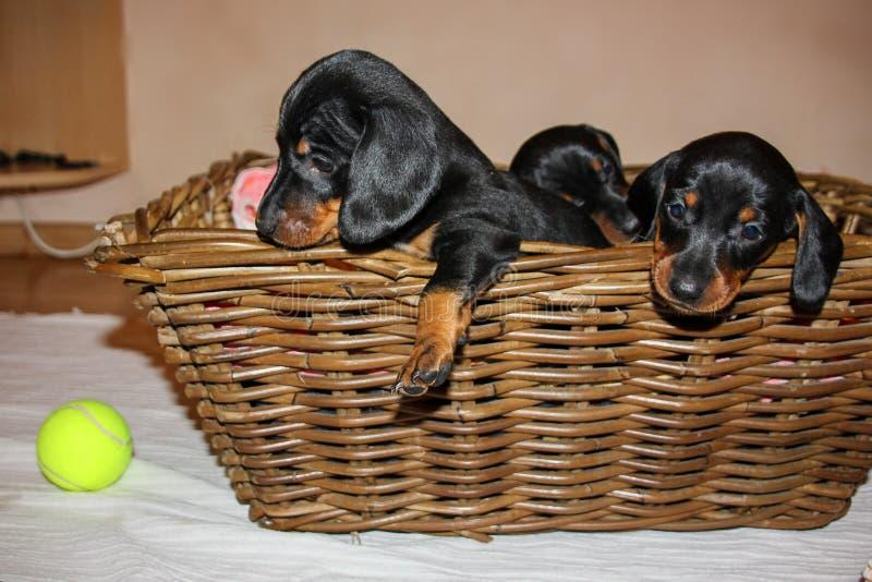 Los perritos crían el perro basset imagenes de archivo