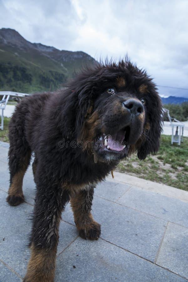 Los perritos del mastín tibetano imagen de archivo libre de regalías
