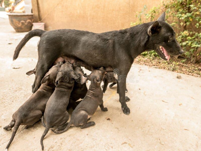 Los perritos están chupando su leche de perro de la mamá fotos de archivo