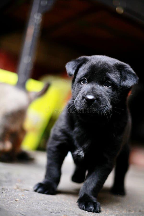 Los perritos están viniendo en imágenes blancos y negros del grabado imágenes de archivo libres de regalías