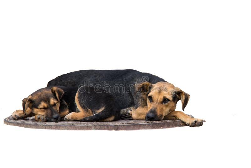 Los perritos sin hogar están durmiendo en una boca de la alcantarilla foto de archivo