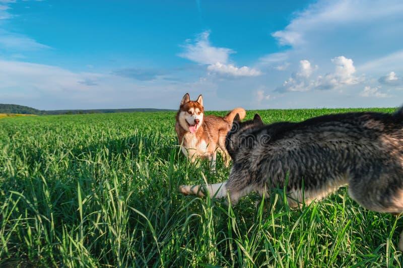 Los perros alegres están jugando en el campo verde Los perros fornidos juegan en la caza en un paseo del verano en el parque imagen de archivo libre de regalías