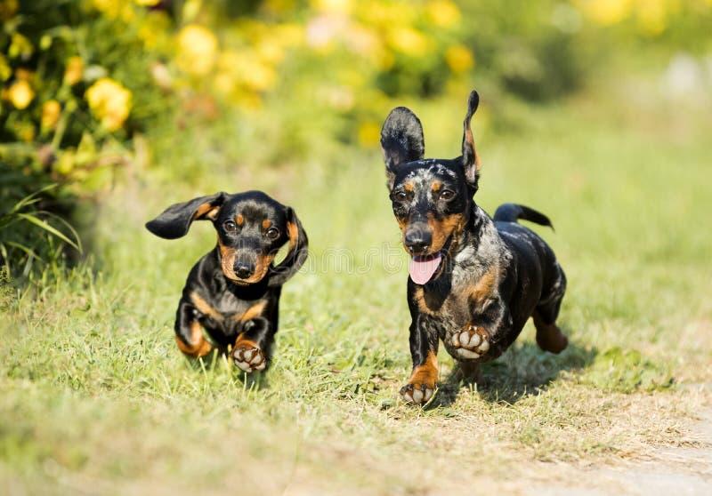 Los perros basset persiguen saltan fotos de archivo