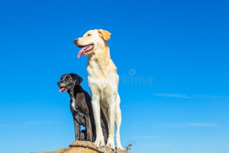 Los perros de la remolque disfrutan de la visión imagen de archivo