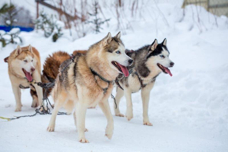 Los perros de trineo crían el perro esquimal en el invierno fotografía de archivo libre de regalías