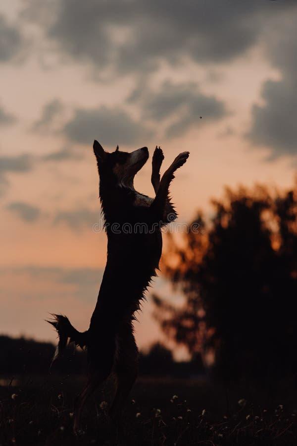 Los perros del border collie saltan y cogen la pelota de tenis en la playa en la puesta del sol imágenes de archivo libres de regalías