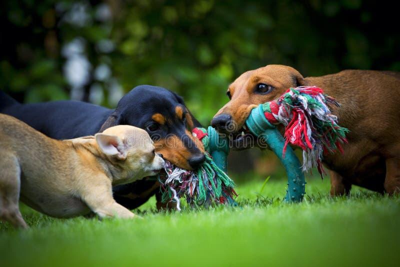 Los perros en el jardín del verano juegan con el juguete imagen de archivo
