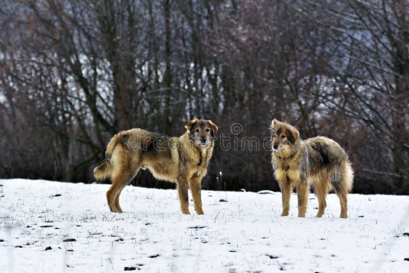 Los perros escarchados del sheepfold en nieve fotografía de archivo libre de regalías