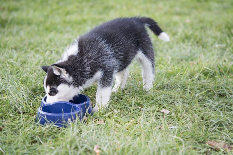Los perros esquimales comen fotografía de archivo libre de regalías