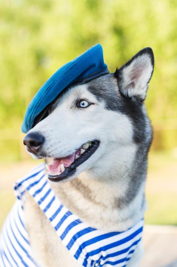 Los perros esquimales persiguen vestido en un uniforme marino en el fondo al aire libre foto de archivo