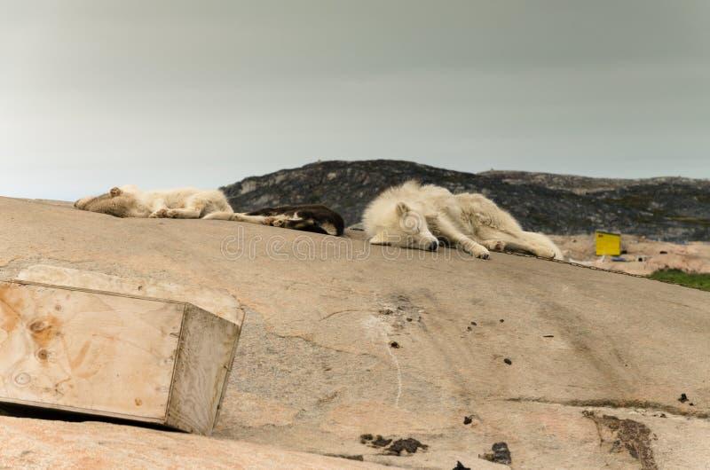 Los perros groenlandeses duermen durante el verano para conseguir el poder y la fuerza que necesitan en invierno imagen de archivo