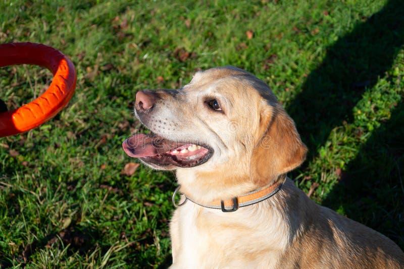 Los perros juegan con la bola y el anillo Labrador fotografía de archivo libre de regalías