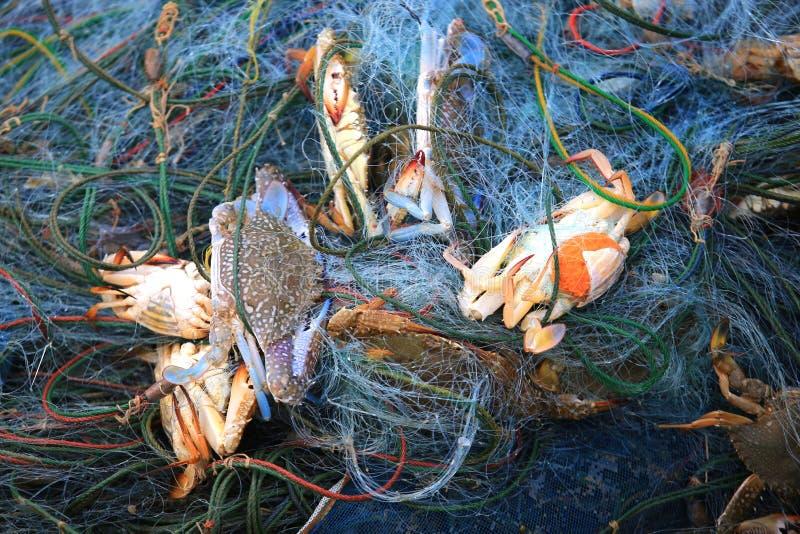 Los pescadores cogen cangrejos azules foto de archivo