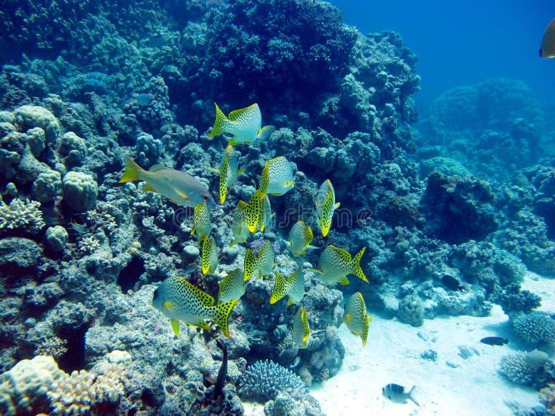 Los pescados abigarraron gru??n - cazador del d?a Mar Rojo, arrecife de coral imagen de archivo
