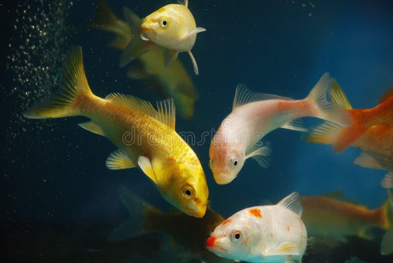 Los pescados coloridos del koi imagen de archivo libre de regalías