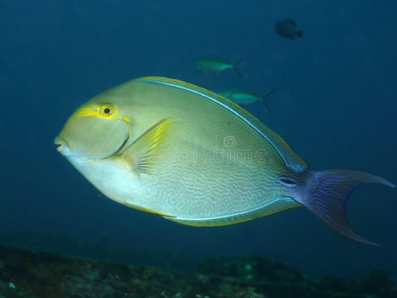 Los pescados coralinos alargan el surgeonfish fotografía de archivo