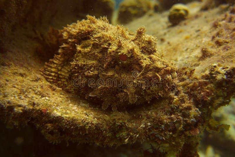 Los pescados de escorpión mezclaron adentro sus sourroundings imagen de archivo