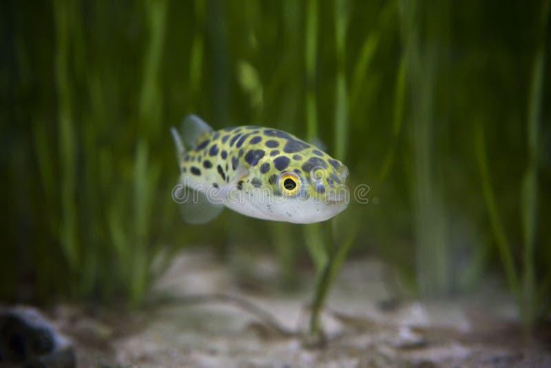 Los pescados de los pescados o del fumador de Kingkong o los pescados verdes o el verde del cuenco mancharon el fumador fotografía de archivo