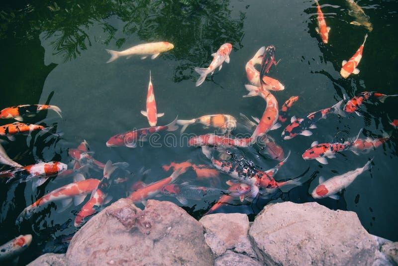 Los pescados de lujo coloridos del koi en el agua superficial/la carpa hermosa de los pescados que nadan en el jardín de la charc fotos de archivo