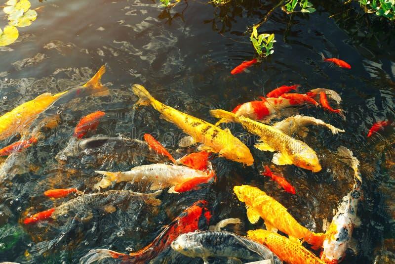 Los pescados de lujo coloridos del koi en la natación del agua superficial en el jardín de la charca disfrutan de flotación de fotos de archivo libres de regalías