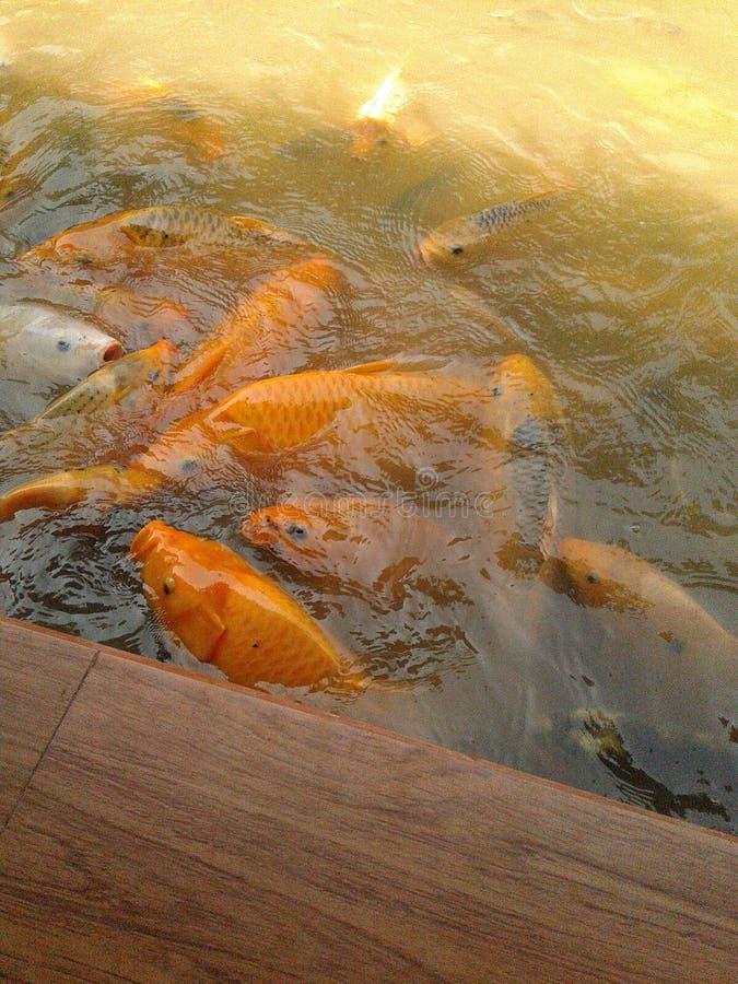los pescados de oro consiguen el togather fotos de archivo