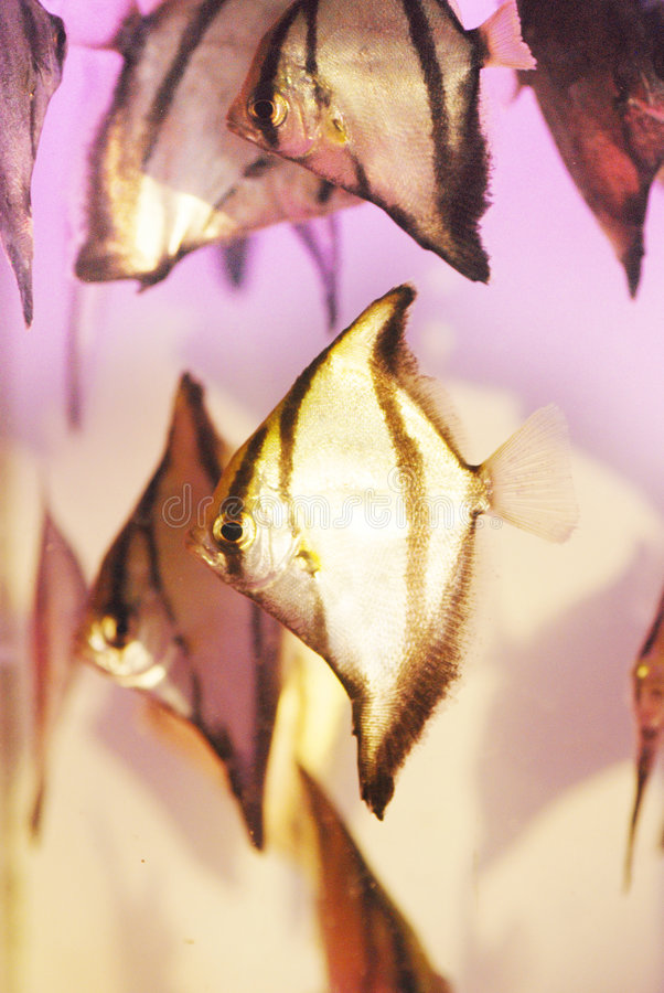 Los pescados del ángel fotos de archivo libres de regalías