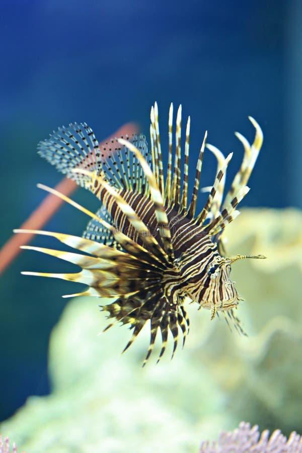Los pescados del león están nadando en el arrecife de coral fotos de archivo