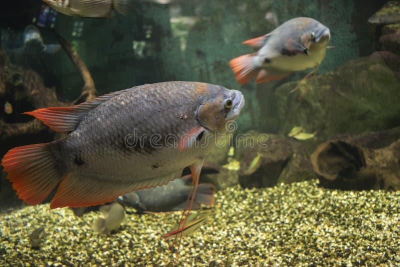 Los pescados rojos gigantes del Osphromemus gorami de la cola fotografía de archivo