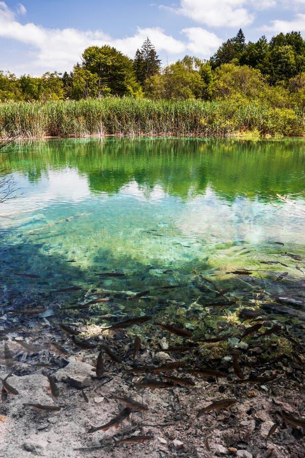 Los pescados salvajes nadan en un lago del bosque Plitvice, parque nacional, Croacia fotografía de archivo