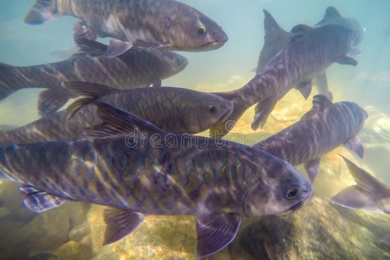 Los pescados subacuáticos, lengüeta de Mahseer, pescado viven en diversas cascadas en el parque nacional de Namtok Phlio, Chantha imagen de archivo libre de regalías