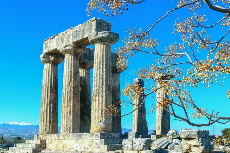 Los pilares del templo de Apolo en Corinto antiguo Grecia enmarcada por los chinaberries en ramas contra el cielo azul con nieve  fotos de archivo libres de regalías
