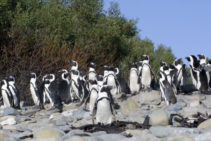 Los pingüinos africanos en la isla Ciudad del Cabo de Robben tan fotografía de archivo libre de regalías