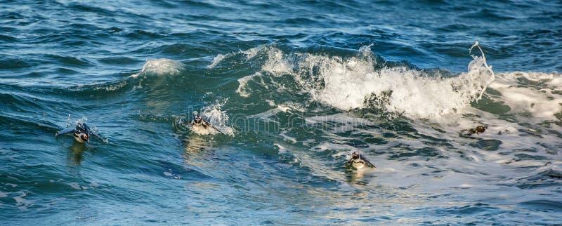 Los pingüinos africanos nadan en el agua azul del océano y de la espuma de la resaca imagen de archivo libre de regalías