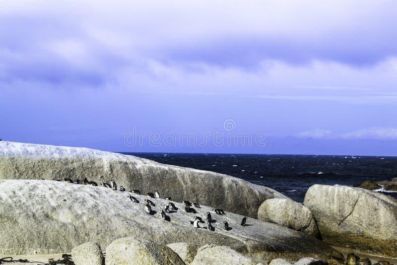 Los pingüinos asolean el baño en las rocas fotografía de archivo