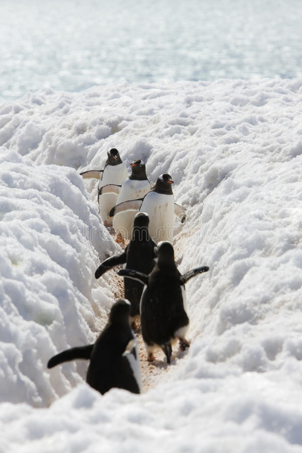 Los pingüinos de Adela van al mar fotografía de archivo libre de regalías
