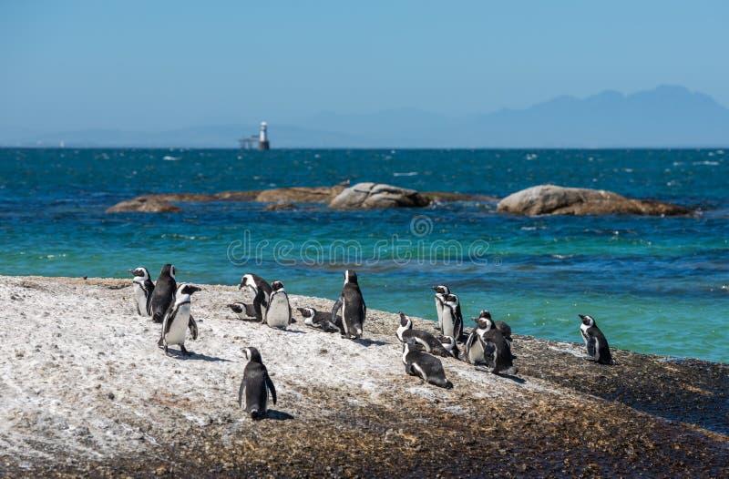 Los pingüinos en los cantos rodados varan en Simons Town, Cape Town, África fotos de archivo