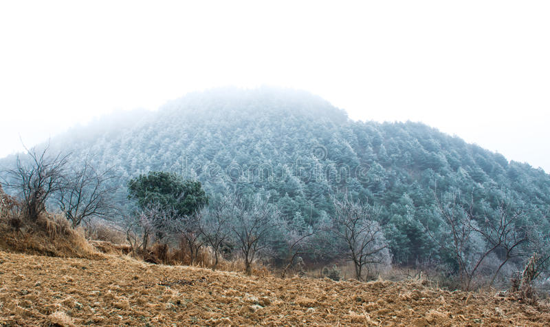 Los pinos fueron cubiertos en niebla imagenes de archivo