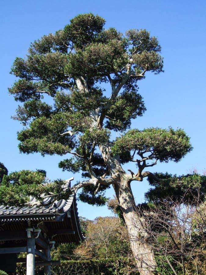 Los pinos negros japoneses en la entrada de un templo imagen de archivo libre de regalías