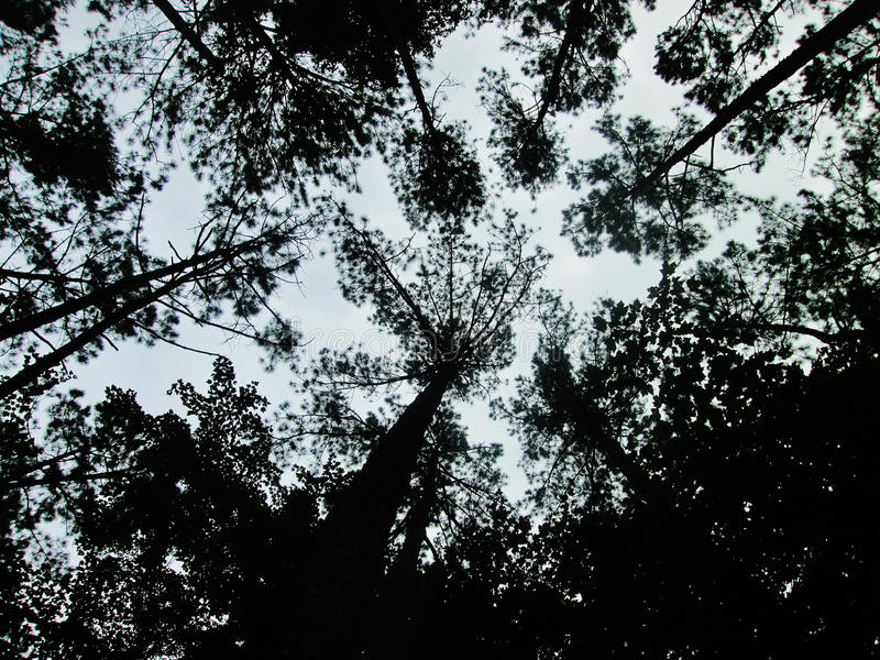 Los pinos oscuros tocan el cielo imagen de archivo
