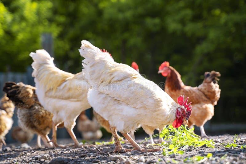Los pollos en la yarda pastan, las gallinas alimentan en hierba Granja av?cola fotografía de archivo
