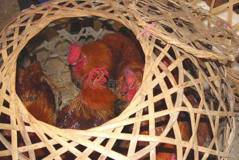 Los pollos vivos pueden causar un brote de los virus Sars, H7N9, H5N8 y H5N1 en China, Asia, Europa y los E.E.U.U. fotos de archivo