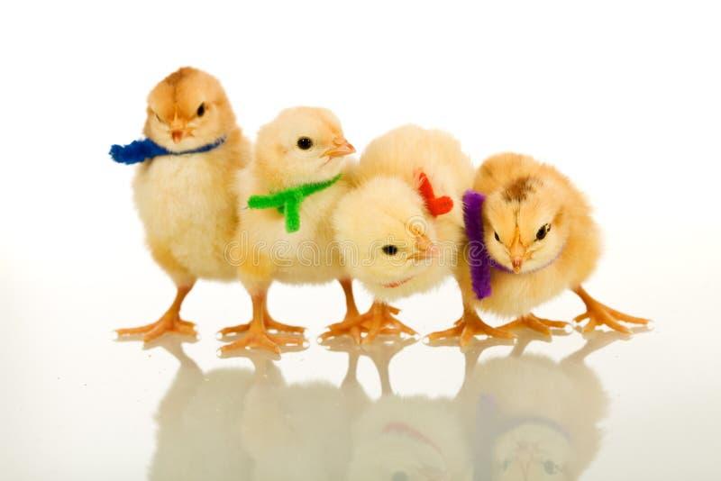 Los polluelos del partido - aislados con la reflexión imagen de archivo libre de regalías