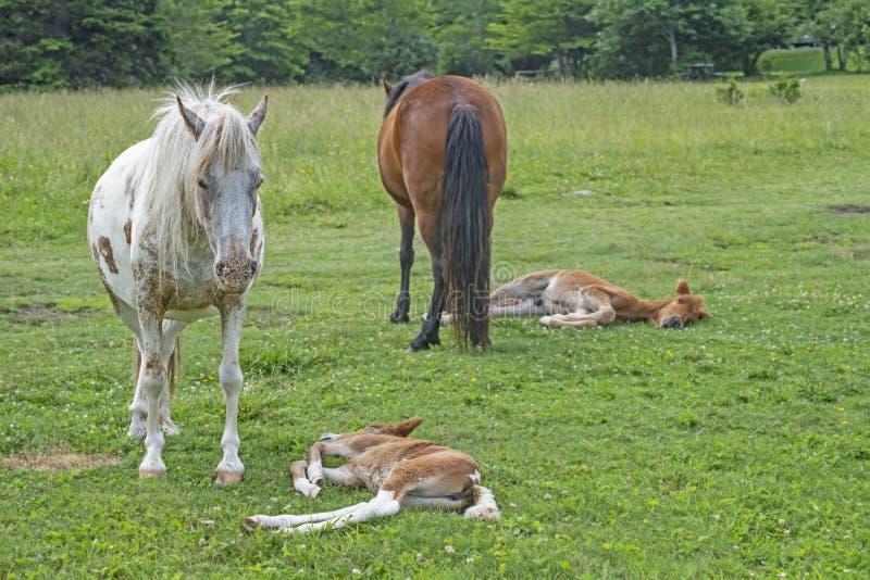 Los potros salvajes del soporte de Grayson Highlands guardan sobre sus bebés durmientes fotos de archivo