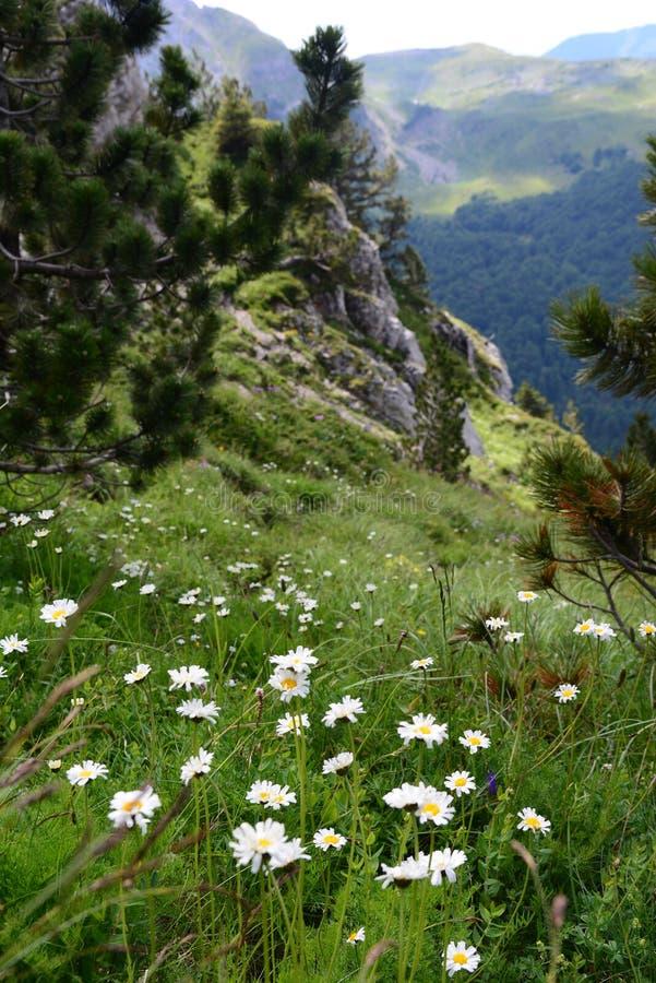 Los prados en una montaña suben, cubierto con las flores blancas imagenes de archivo