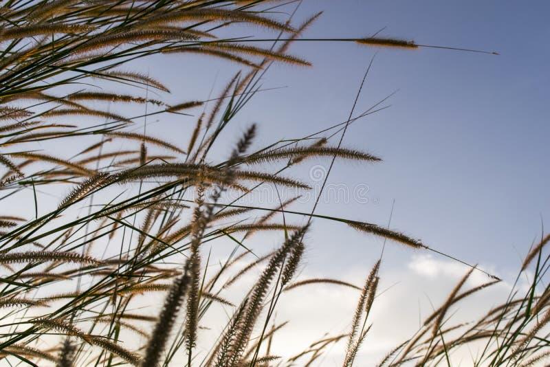 Los prados florecen la hierba con el fondo de la puesta del sol del cielo en invierno fotografía de archivo libre de regalías