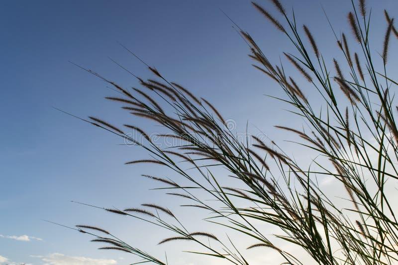 Los prados florecen la hierba con el fondo de la puesta del sol del cielo en invierno imagenes de archivo