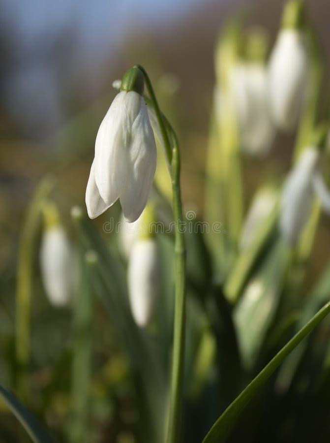 Los primeros snowdrops de la primavera foto de archivo libre de regalías