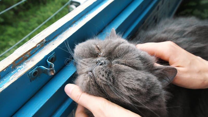 Los rasguños de la mujer a un gato persa en el balcón, un animal doméstico contento se cierran los ojos del placer imagen de archivo libre de regalías