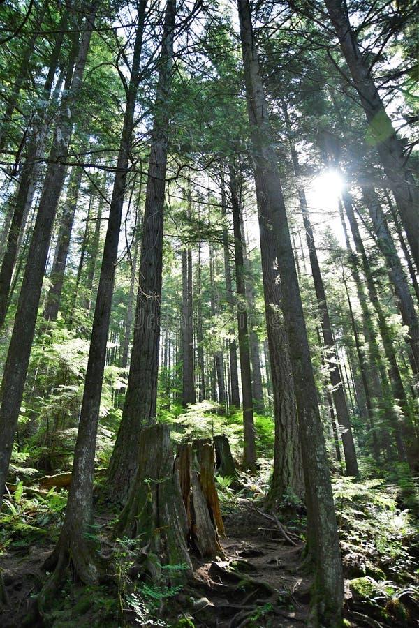 Los rayos de sol se rompen a través del bosque de Lynn Canyon Park, imagen de archivo
